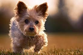 corkie puppy