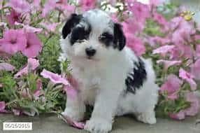 havachon puppy