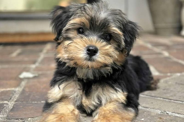 Top 12 Facts a Morkie Owner Needs to Know
