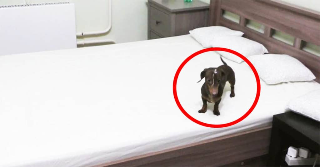 dachshund goes nuts on bed