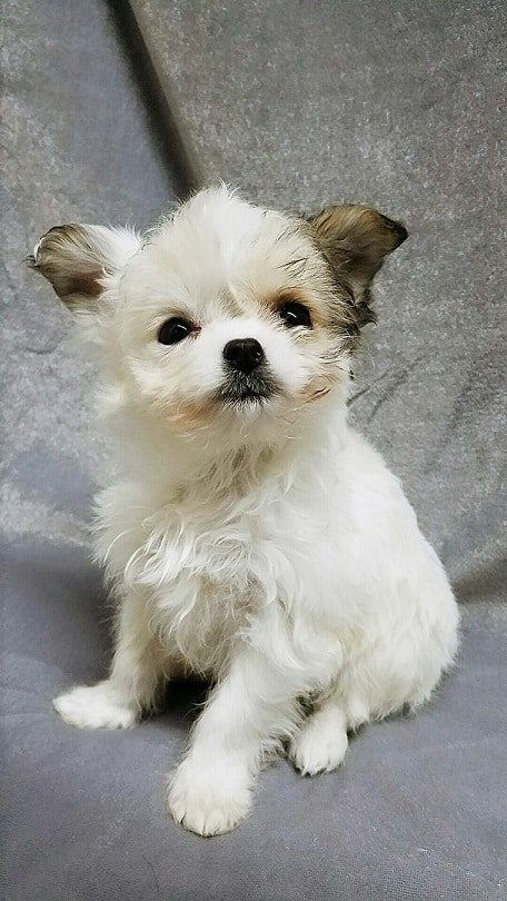 Such a cute Cheenese puppy