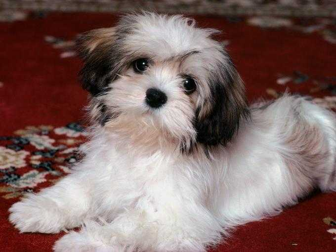 Will The Lhasapoo Be The One For You?