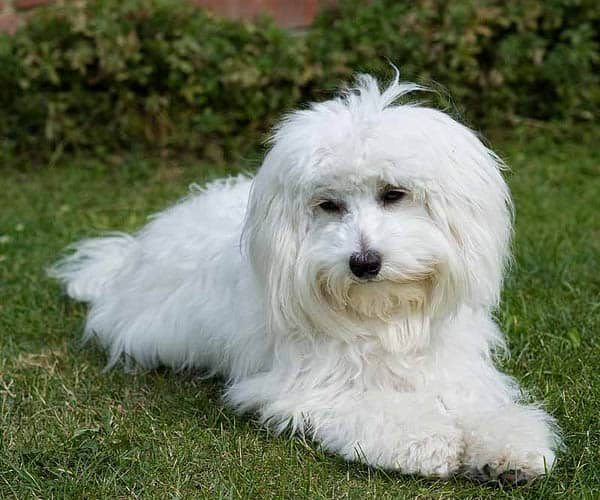 bichon frise vs maltese maltese bichon mix for sale goldenacresdogs com 6542