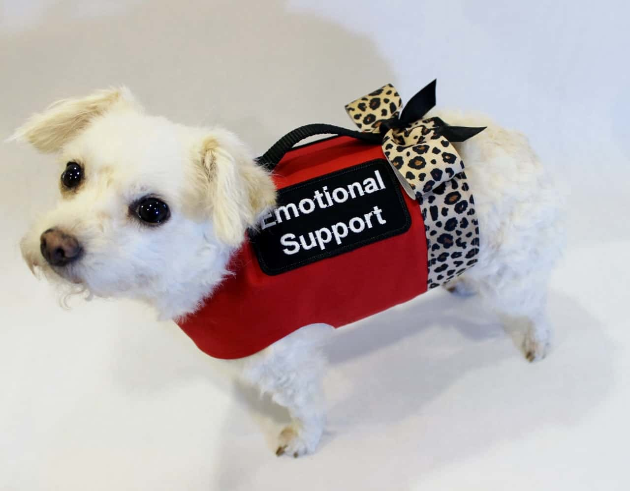 What Training Emotional Therapy Dog