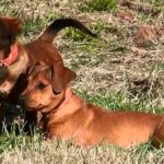Chiweenie: A Friendly, Loving and Spunky Companion