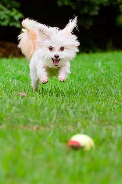 maltipoo pupp at play