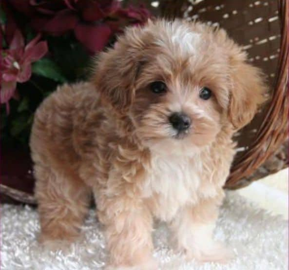 Is a maltipoo for you?