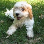 Cavapoo: The Sweet and Playful Breed