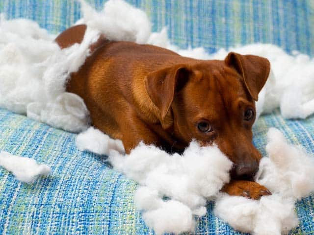 Do You Have A Destructive Dog?