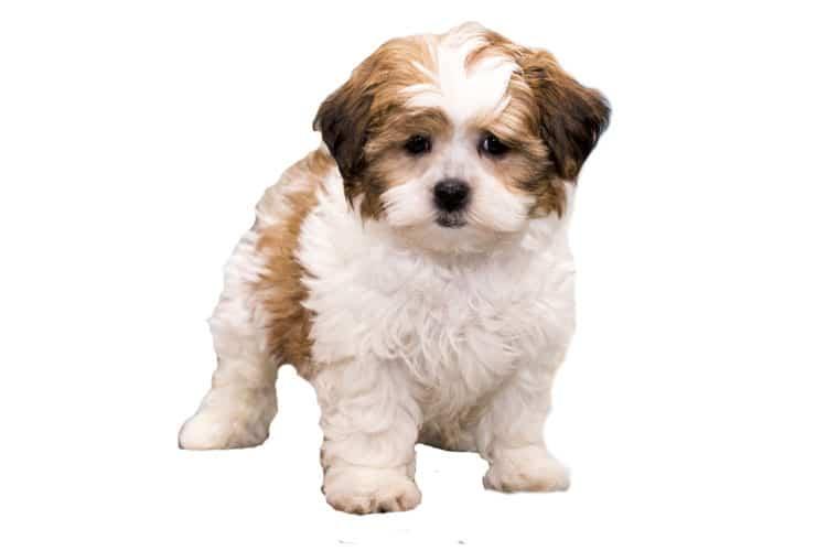 Shih-Poo-Puppy