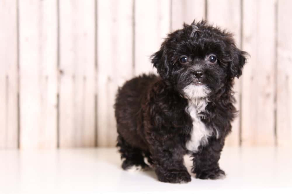 Shih Poo Your Little Bundle Of Joy