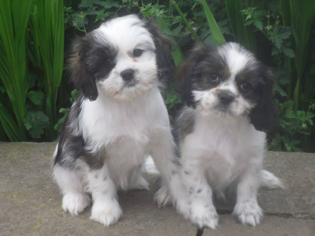 shih tzu cavalier mix cava tzu the tzu per cute smart and playful little dog 2021