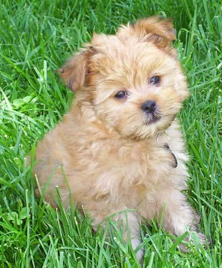Yoranian Dog Breed