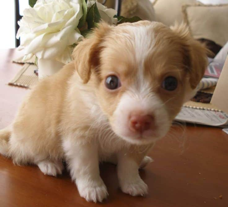 Havanese-and-Chihuahua-Mix