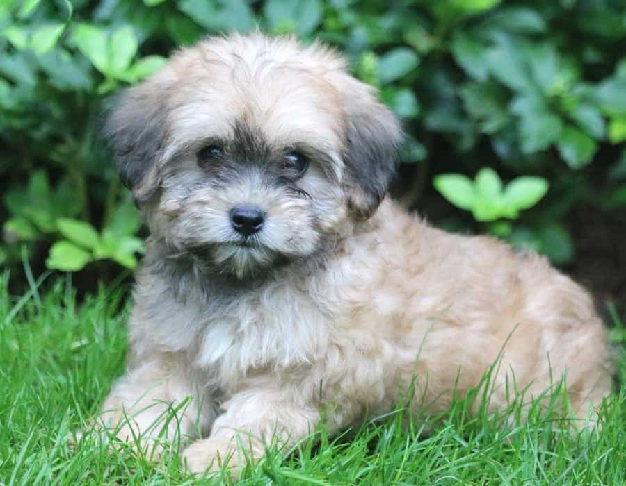 Lhasapoo puppy