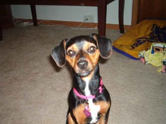 meagle dog