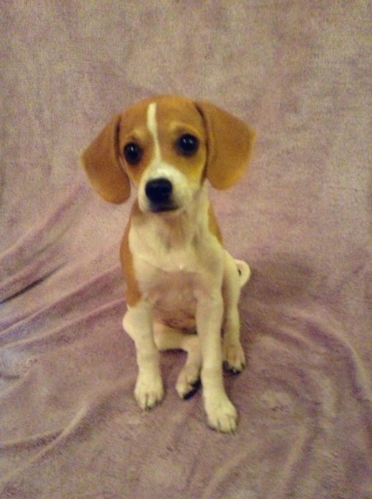 cheagle puppy
