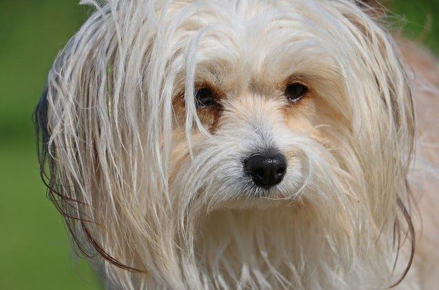 The Chi Chi Dog: The Intelligent and Loving Little Bundle of Joy