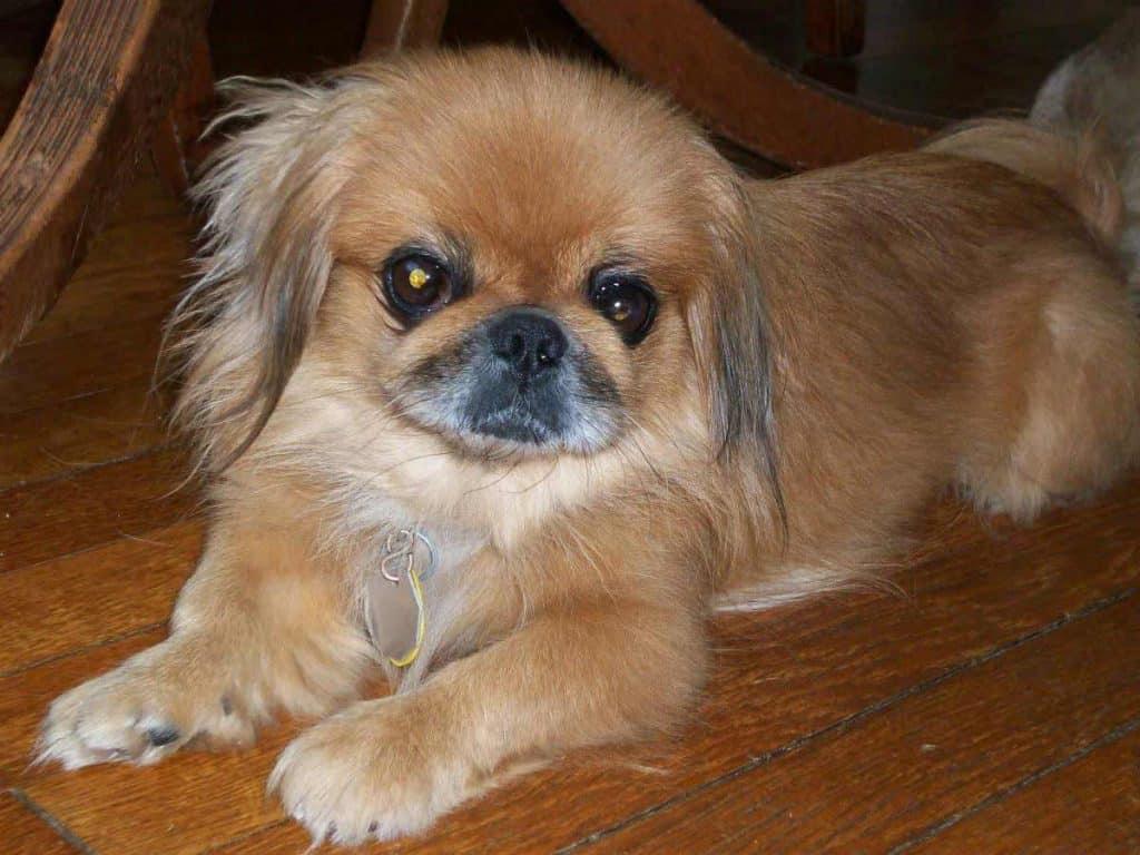 corkie dog