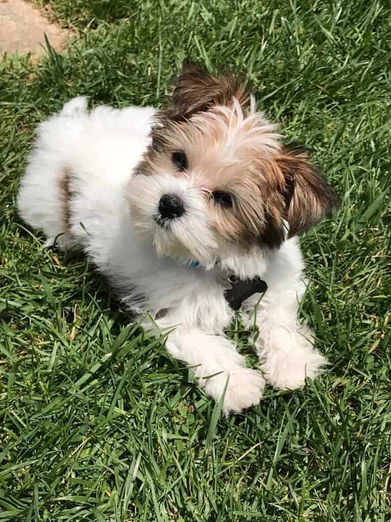 havashu dog
