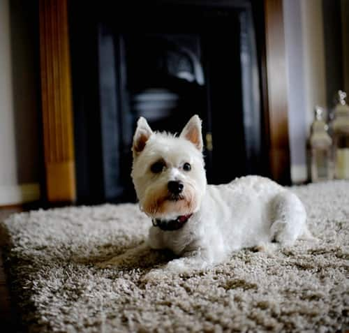 How to Choose the Best Rug for Your Dog