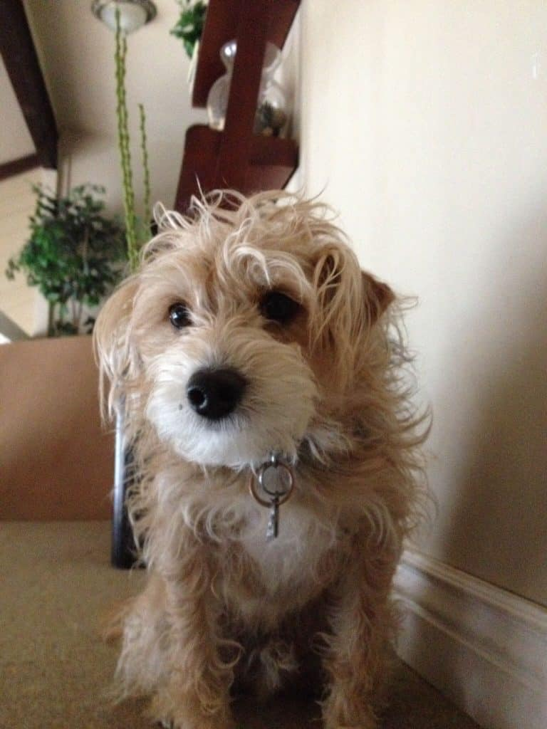 Jackapoo: The Intelligent, Fun-Loving, and Energetic Jack Russell and Poodle Mix