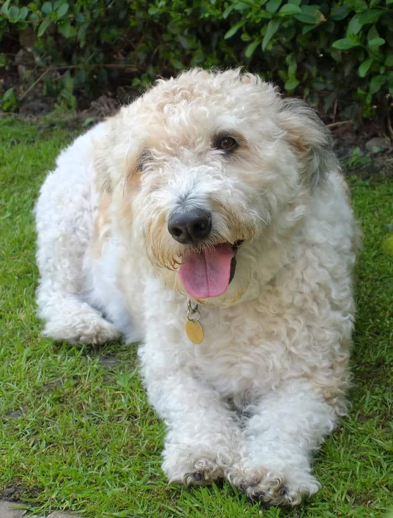 jackapoo dog breed