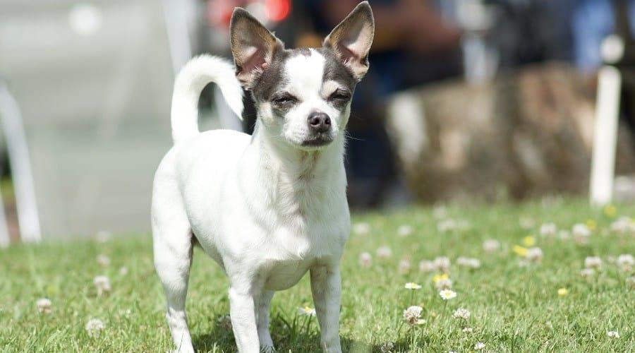 JackChi Dog