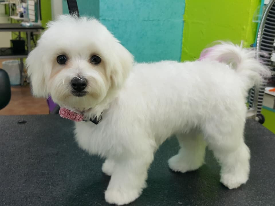maltichon puppy