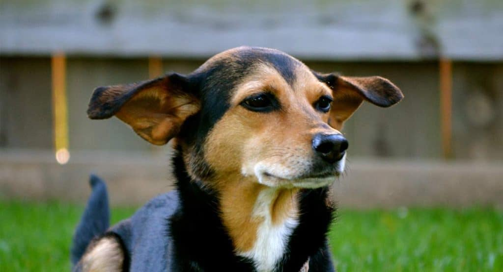 The Meagle Dog