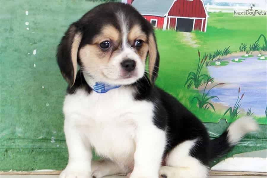 peagle puppy