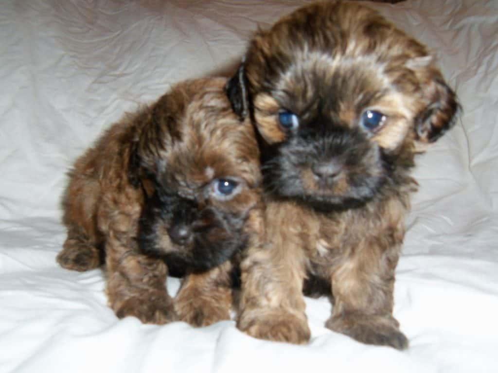 pooshi puppies