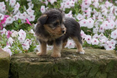 toy fox terrier miniature poodle mix