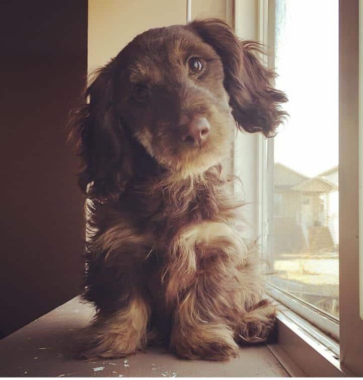 schweenie dog