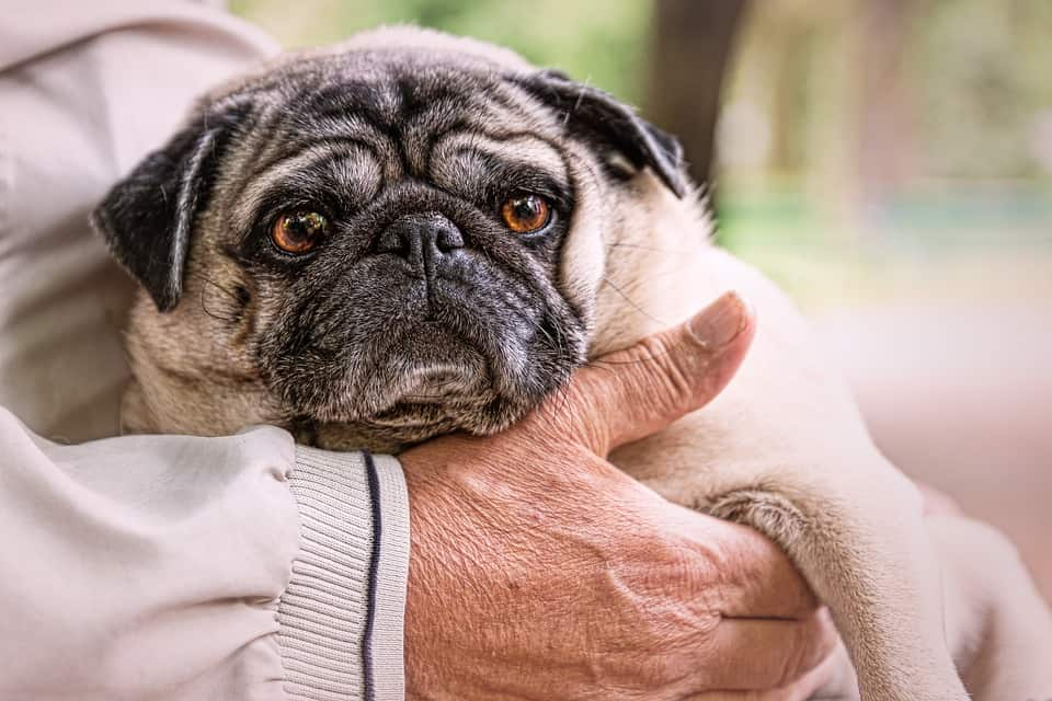 Recognizing Common Diseases In Senior Dogs 2