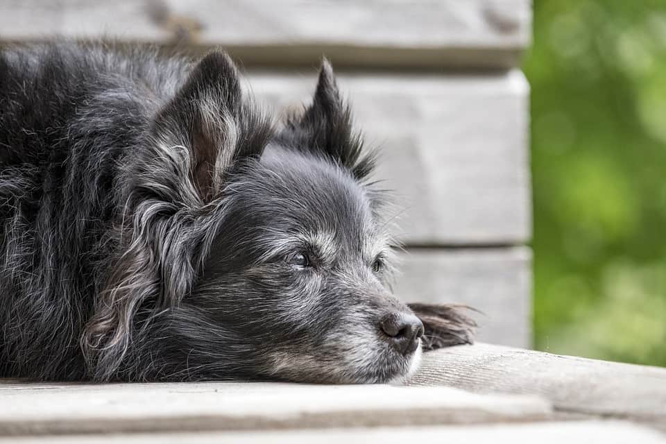 Recognizing Common Diseases In Senior Dogs 4