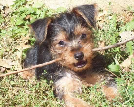 yorkie pin puppy
