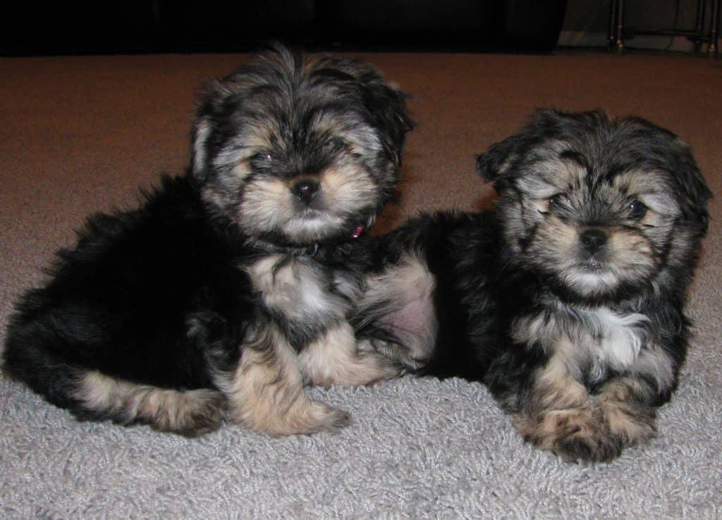 yorkinese puppies